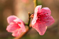 Spring pink flowers in bloom Royalty Free Stock Photo