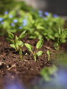 Spring  plant seedlings Royalty Free Stock Image