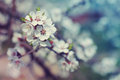 Spring plum flowers for background. Royalty Free Stock Photo