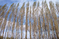Spring poplar the scenery of hurst in Royalty Free Stock Photo