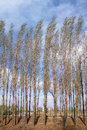 Spring poplar the scenery of hurst in Stock Photography
