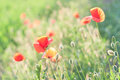 Spring poppies with blurry background Stock Images