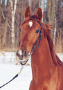 Spring portrait of cute young red  horse Stock Images