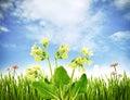 Spring primroses Stock Image