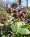 Spring Pulmonaria Buds Royalty Free Stock Photo