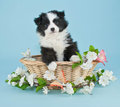 Spring puppy a cute little australian shepherd sitting in a basket with white flowers and butterflies around her Royalty Free Stock Image