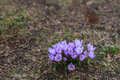 Spring purple crocus Royalty Free Stock Photo