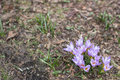 Spring purple crocus Royalty Free Stock Photo