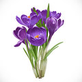 Spring purple crocuses on the vine isolated white background Stock Photography