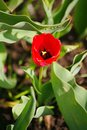 Spring, after rain beautiful red flower Bud Tulip on the background of green leaves in the flowerbed in the Russian countryside Royalty Free Stock Photo