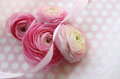 Spring ranunculus flowers ribbon pink white polka dots Stock Photos