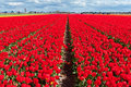 Spring red tulip field Royalty Free Stock Photo