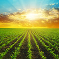 Spring rural landscape with green corn field. Royalty Free Stock Photo