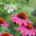 Spring sale background with coneflowers royalty free stock photo illustration for greeting card ad promotion poster flier blog Stock Image