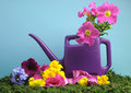 Spring setting with purple watering can. Royalty Free Stock Images