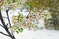 Spring snow the flowers in Royalty Free Stock Photo