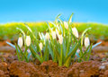 Spring snowdrop  . Royalty Free Stock Images