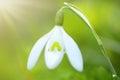Spring Snowdrop flower Royalty Free Stock Photo