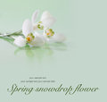 Spring snowdrop flower. Royalty Free Stock Photo