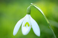 Spring snowdrop flower white with copy space Stock Photography