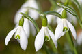 Spring snowdrop flowers Stock Photo