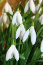 Spring snowdrop flowers Royalty Free Stock Image