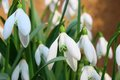 Spring snowdrop flowers Royalty Free Stock Photography