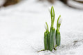 Spring snowdrop flowers coming out from snow in forest real Royalty Free Stock Images