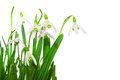 Spring snowdrop flowers isolated white background Royalty Free Stock Photos