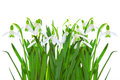 Spring snowdrop flowers isolated white background Royalty Free Stock Photography