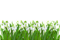 Spring snowdrop flowers isolated white background Royalty Free Stock Photo