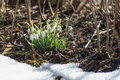Spring snowdrop flowers snow forest Stock Photos