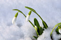 Spring snowdrop flowers with snow in the forest Stock Photography