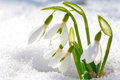 Spring snowdrop flowers with snow in the forest Stock Image