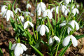 Spring snowdrop flowers with snow in the forest Royalty Free Stock Images