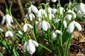 Spring snowdrop flowers with snow in the forest Royalty Free Stock Photos