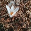 stock image of  spring snowdrop