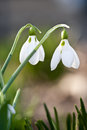 Spring snowdrops closeup of white with delicate green stems Royalty Free Stock Photography