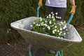 Spring snowflake flowers in a wheelbarrow Stock Images