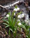 Spring Snowflake, Summer Snowflake or Loddon Lily Royalty Free Stock Photo