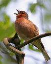 Spring Song - Chaffinch