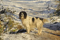 Spring Spaniel in snow Stock Photography