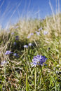 Spring squill flower in the meadow Royalty Free Stock Photos
