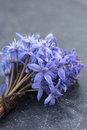 Spring squill scilla bifolia blue flowers close up Stock Images