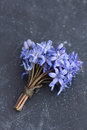 Spring squill scilla bifolia blue flowers close up Royalty Free Stock Image