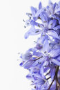 Spring squill scilla bifolia blue flowers close up Stock Photos