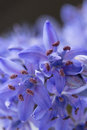 Spring squill scilla bifolia blue flowers close up Royalty Free Stock Photos