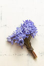 Spring squill scilla bifolia blue flowers close up Stock Image