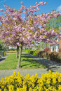Spring in the street tree blossom and flowers a dutch april Royalty Free Stock Photo