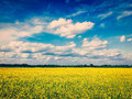 Spring summer background - canola field with blue sky Royalty Free Stock Photo